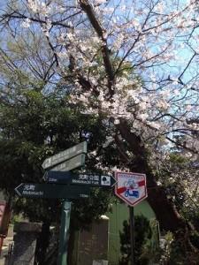 2015年3月サロン前の桜